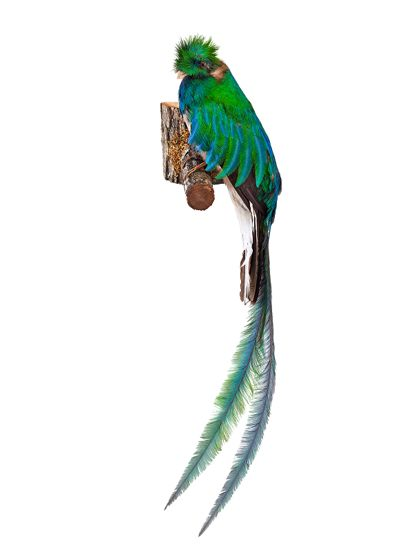 Ein Quetzalmännchen auf einem Ast nach links schauend, seitlich montiert. Deutlich schillert das prächtige, grün-bläuliche Gefieder, die Federkrone und die langen Oberschwanzdeckenfedern.