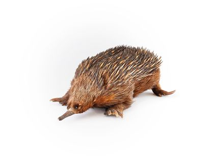Short-beaked echidna or spiny anteater Tachyglossus aculeatus