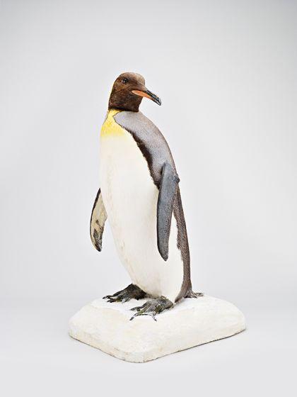 Präparat eines Pinguins