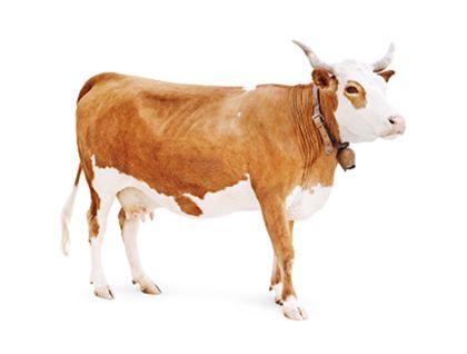 Standpräparat einer typisch kleinen Hinterwälder-Kuh mit hellen Hörnern und Kuhglocke. Ihr Rücken und die Seiten haben ein hellbraunes, kurzes Fell. Der Bauch, die Hälfte des Schwanzes, Teile der Hinterbeine und der Kopf sind weiß. Die Augen sind braun umrandet.