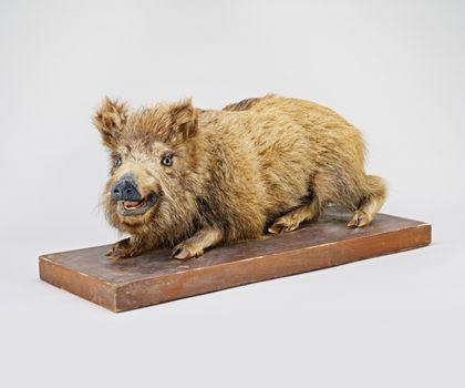 Präperat eines Wildschweins