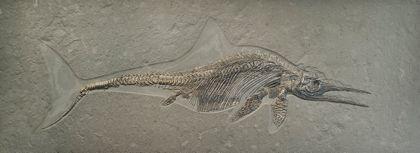 Ichthyosaur Stenopterygius quadriscissus