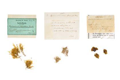 Von links nach rechts sind drei Moosarten in drei, zwei und wieder drei Exemplaren gelegt. Diese sehen unscheinbar grün-bräunlich aus. Die Moose sind nicht als Einzelpflänzchen, sondern im Verbund, als Gruppe, in einer Art Häufchen gepresst worden. Über den Objekten sind die Orignalbeschriftungszettel abgelegt.