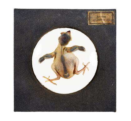 Ein Spatzküken, ein Nestling, dem die ersten Federkiele wachsen. Er liegt auf dem Bauch, mit ausgebreiteten Flügeln und Beinen in einem Uhrglas mit Fomalin. Man sieht auf den Rücken.