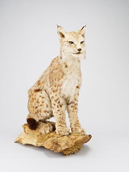 Eurasian Lynx Lynx lynx