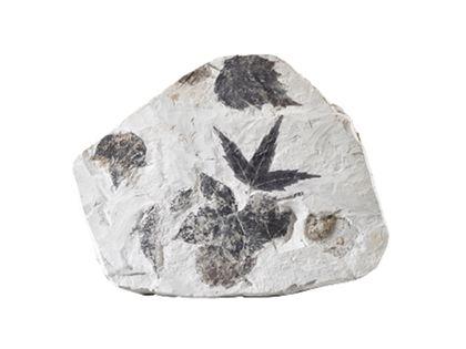 Sehr deutlich zu sehen sind inkohlte, d. h. schwarze, fossile Blätter von Laubbäumen auf einer hellgrauen Kalkmergelplatte. Die Blätter, ihre Formen, Zacken und Adern sind deutlich zu erkennen. Sie liegen teils neben-, teils übereinander.