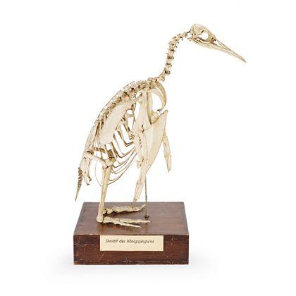 Zu sehen ist das gelblich-weiße aufgestellte Skelett eines Königspinguins. Die Halswirbelsäule ist s-förmig gebogen. Das Skelett steht auf einem braunen Holzpodest, ein dessen Seite die Beschriftung angebracht ist.