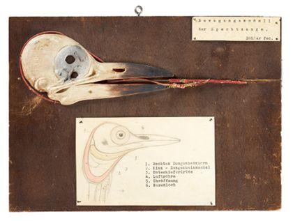 Ein aus Lindenholz geschnitzter Spechtschädel, teilweise bemalt und mit einer Zunge aus eng umwickelten Draht auf einem dunkeln Furnierholz. Dazu eine gezeichnete anatomische Skizze.