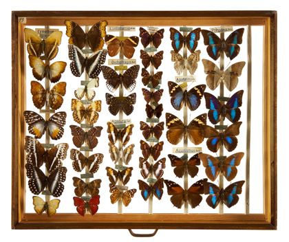 Insect Display Case Lepidoptera